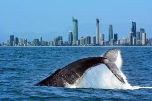 Whale watching on Australia's Gold Coast