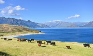 Dairy farming on the shores of Lake Hawea in New Zealand